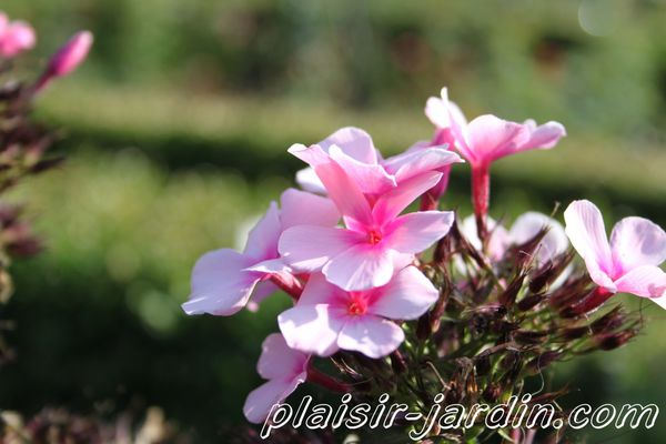 Phlox-paniculata--bright-eyes-.jpg