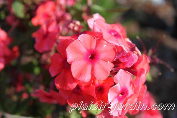 Phlox-paniculata-Adessa-special-fire.jpg