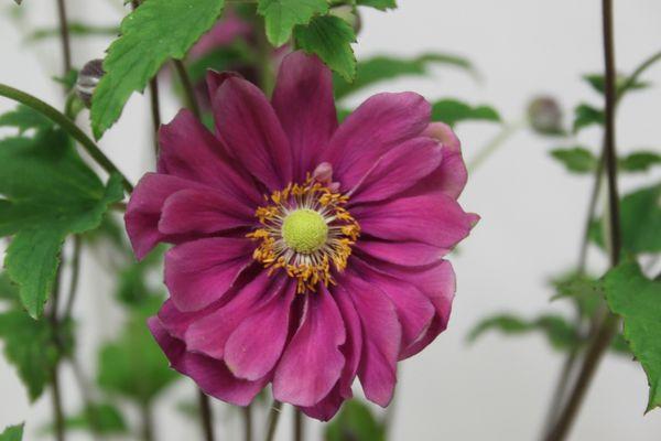 Anemone-japonica--Margarete-.jpg