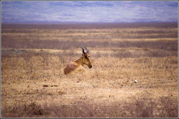 Bubale dans le cratere du Ngorongoro