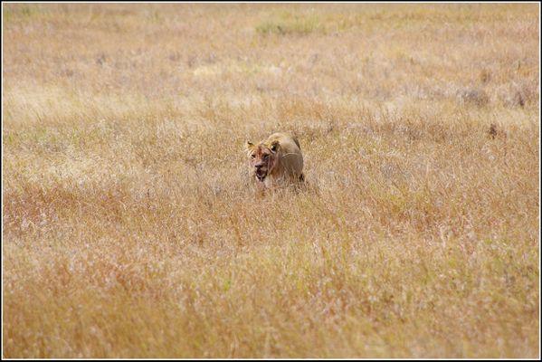 lionne du serengeti
