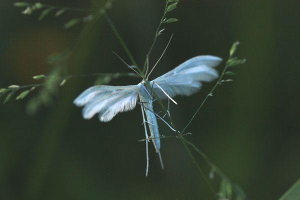 Pterophore001.jpg