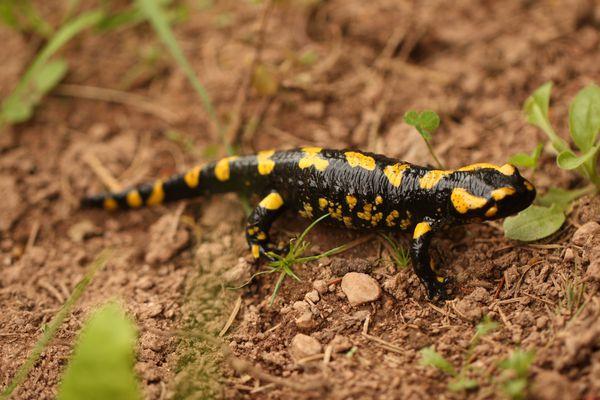 Salamandre004.jpg