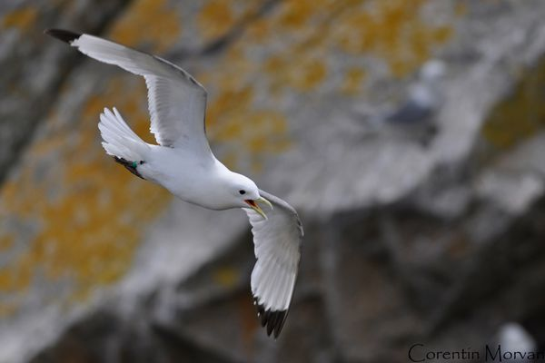Mouette tridactyle1