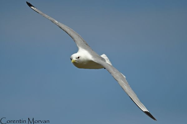 Mouette tridactyle12