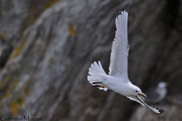 Mouette tridactyle6