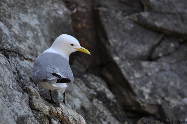 Mouette tridactyle7