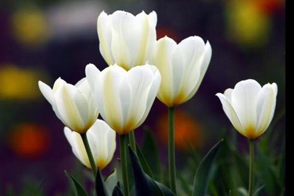 tulipes7.JPG