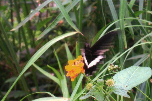 L 39 le aux papillons les histoires d 39 un potager quatre for Koi papillon