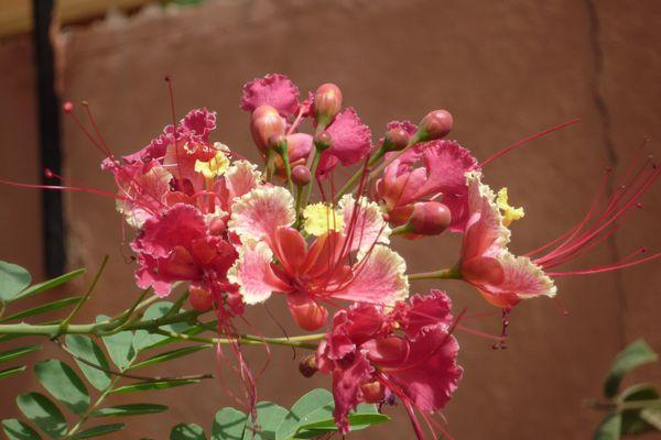 Caesalpinia pulcherrima-Flamboyant nain rose
