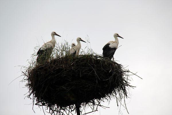 cigognes dans leur nid dans la campagne polonaise.jpg