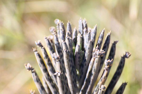 kalanchoe-tubiflora 4258