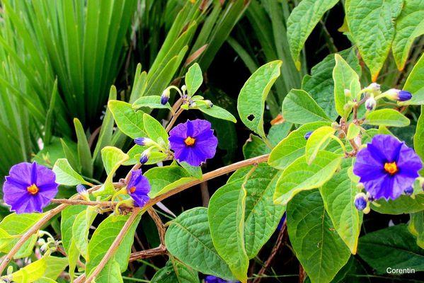 f04---Solanum.JPG