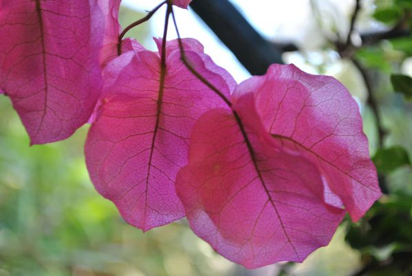 bougainvillers1