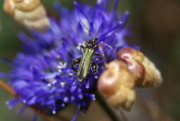 oedemeridae.jpg