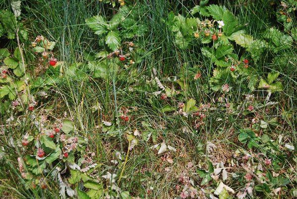 fraisiers1