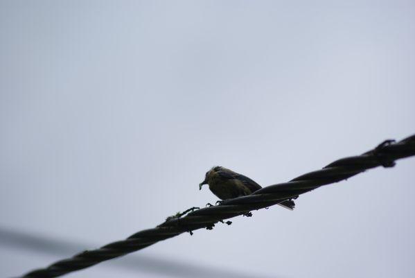 Oiseaux--23-.JPG
