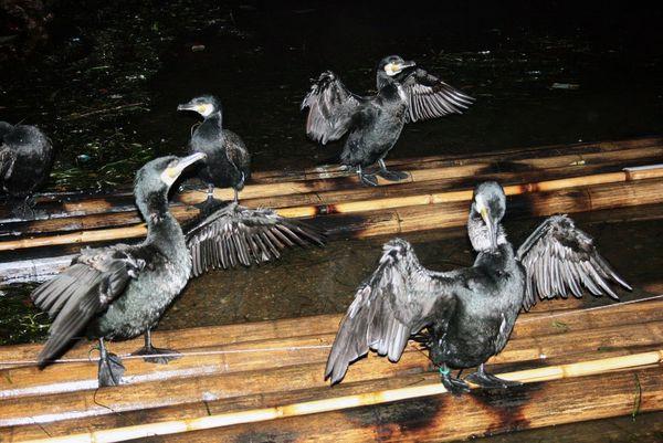 CHINE-Peche-au-cormoran.JPG