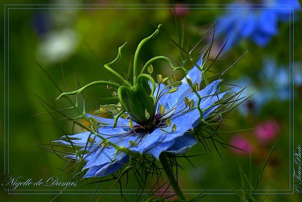 nigelle-de-damas-05-copie-2.jpg