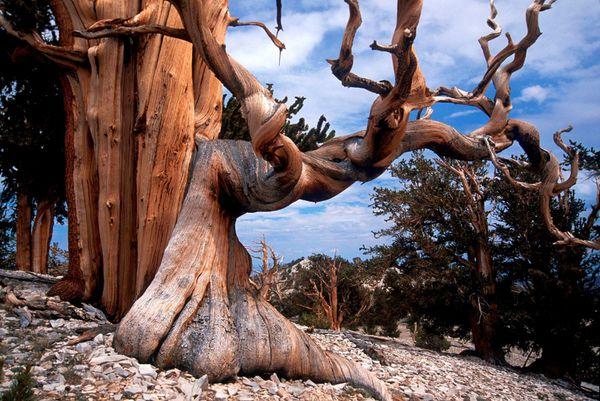 03---Bristlecone-Pine.jpg