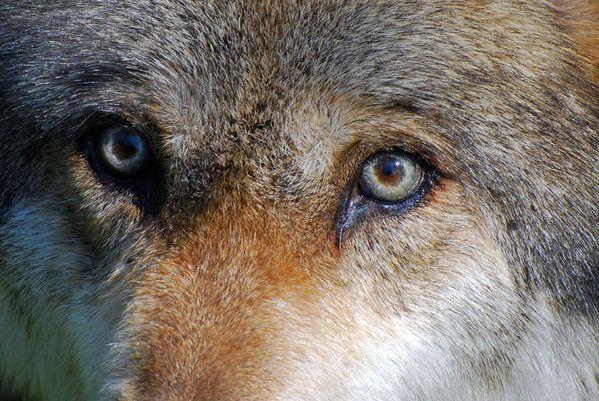 loups européens311