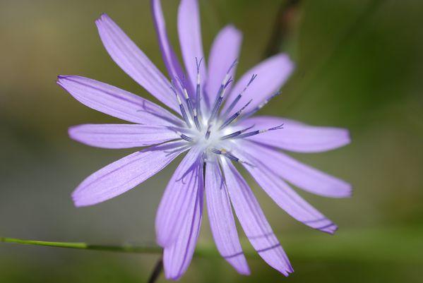 fleurs laitue des alpes
