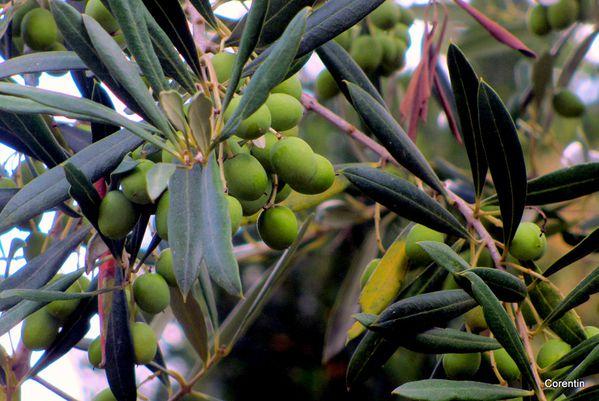 H15---olives.JPG