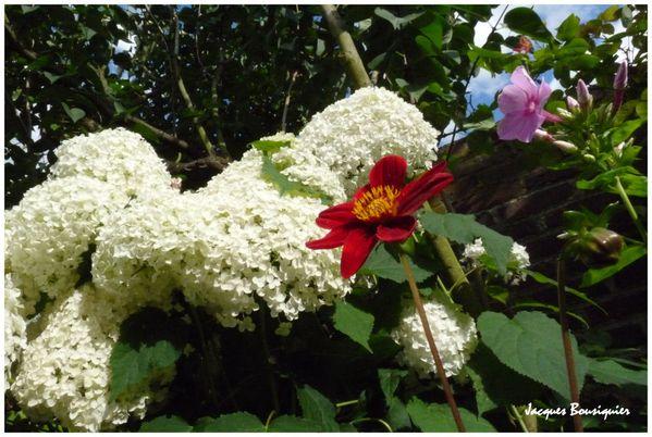 dahlias hortensias 1