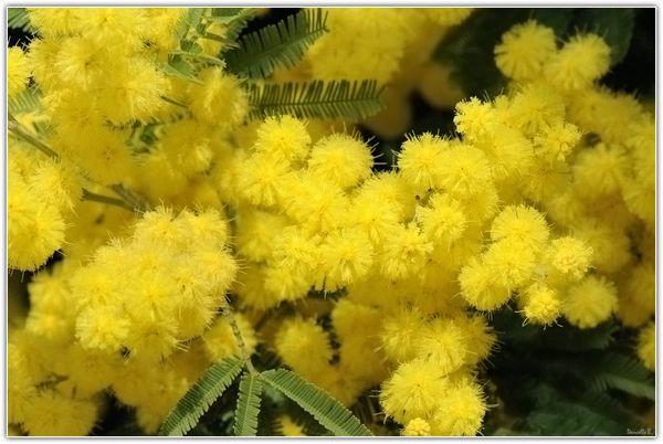 Mimosa-1-1020