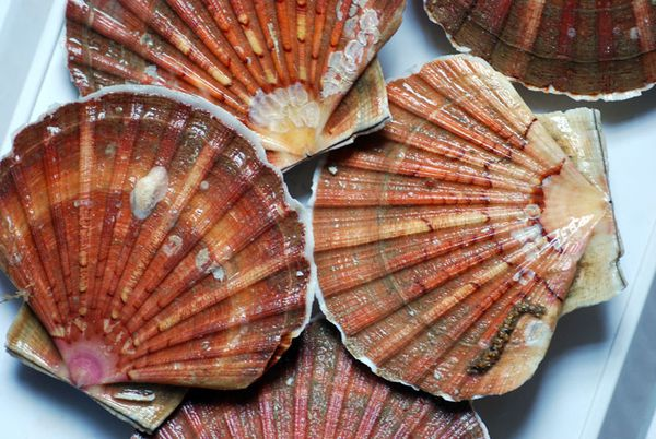 coquille-112011-210.jpg