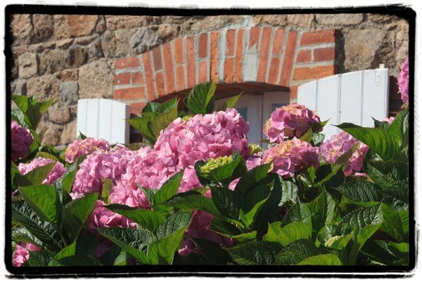 Hortensias---ile-de-Brehat.jpg