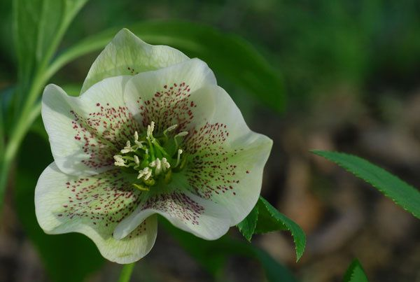 hellebore-11-04.jpg