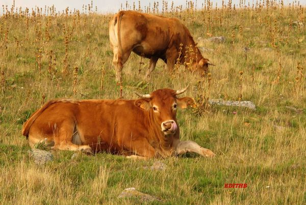 VACHES-AUBRAC-copie-1.JPG