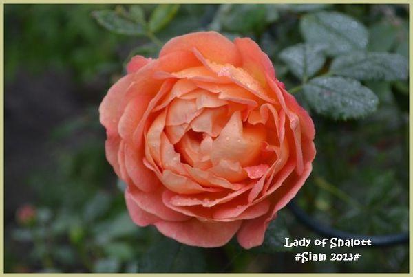 Lady-of-Shalott-1.jpg