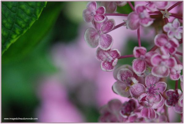 hortensia fleur de lilas