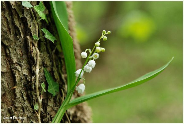 Muguet 2011 Chantilly foret 02