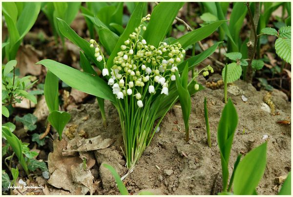 Muguet 2011 Chantilly foret 04