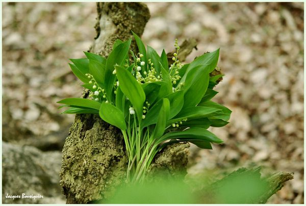 Muguet 2011 Chantilly foret 08