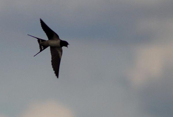 oiseaux 0809