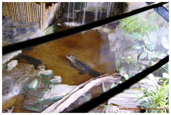 Alligators (3)
