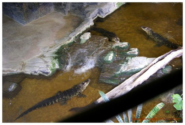 Alligators (4)