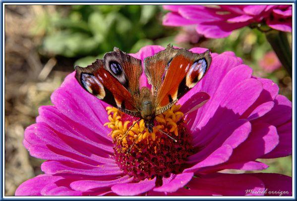 papillon-501.jpg