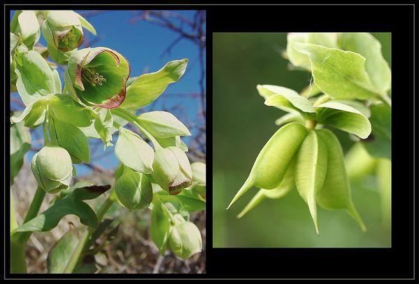 Hellébore fétide fleurs et fruits