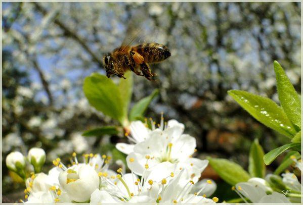 abeille-11