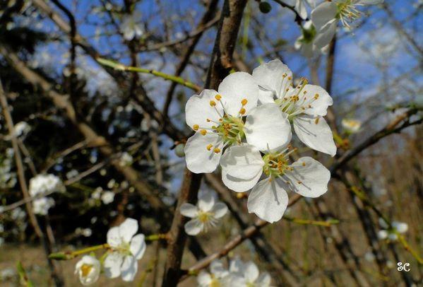 fleurs blanches-22