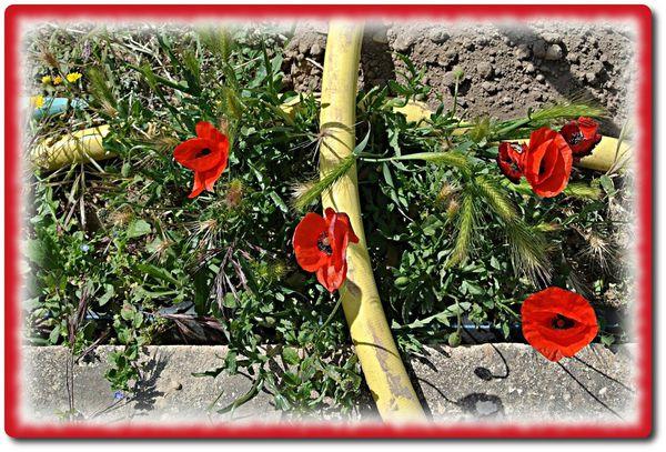 jardin-roses-fleurs-13-5-2012-11.JPG