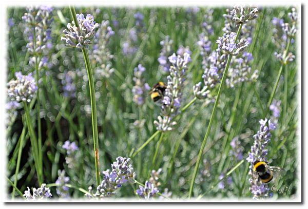 Jardin-14-7-2012-abeille-4.JPG
