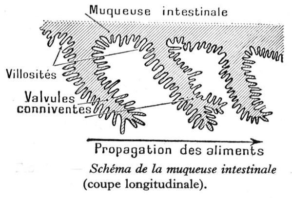 muqueuse-intestinale.JPG