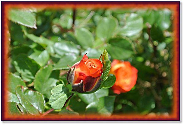 jardin-roses-fleurs-13-5-2012-3.jpeg