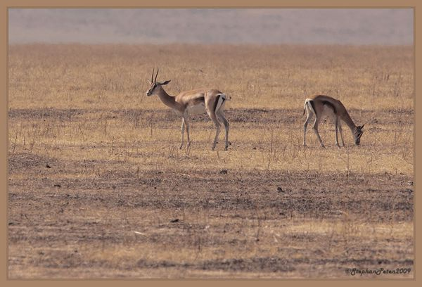 GazelledeThompsonNgorongoro.1.11-09.jpg